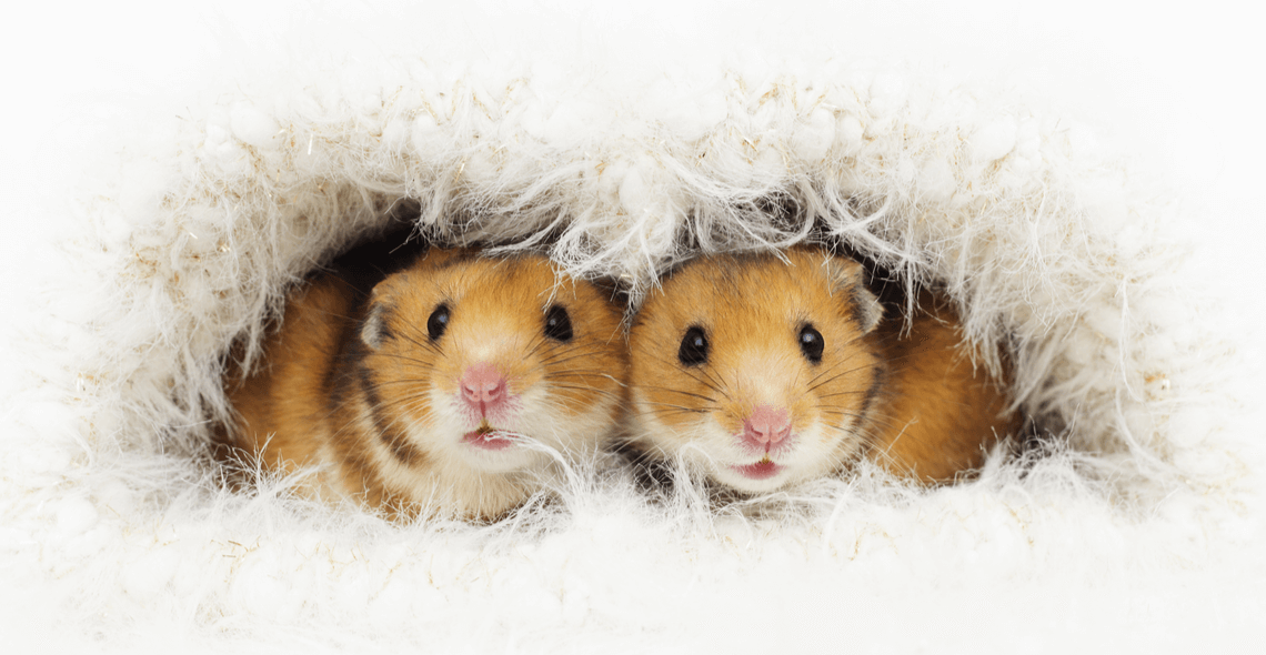 rat, mouse, hamster care